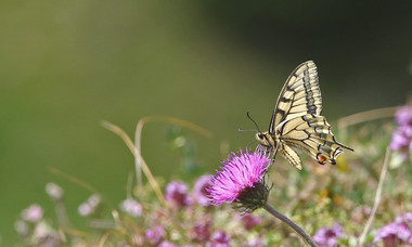 I_p_machaon-11.jpg