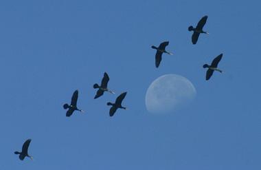 lune-cormorans