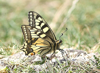 I_p_machaon-1.jpg