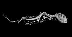 チュウゴクワニトカゲのX線CT画像