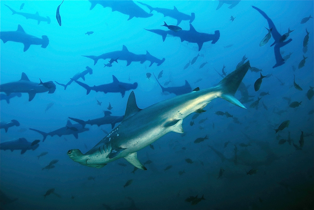 Hammerhead sharks off the island of Cocos in Costa Rica