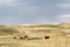 Schumacher cows (26).jpg