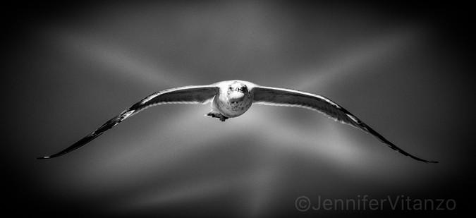flying sea gull with shell JVitanzo.jpg