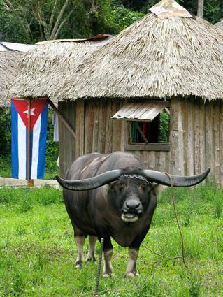 Cuba-water-buffalo-Vinales _JenniferVita