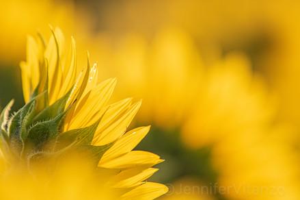 disrupted pattern sunflower JVitanzo.jpg