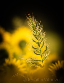 disrupted pattern wheat in sunflowers JVitanzo.jpg