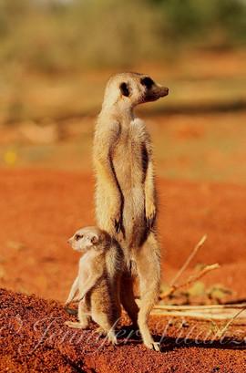 baby_meerkat_standing_with_sitter_©Jenni