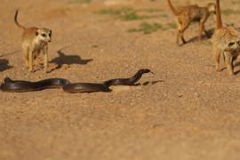 meerkat_photos_5.JPG