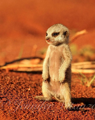baby_meerkat_Zen_©JenniferVitanzo.jpg