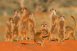meerkats-fighting_©JenniferVitanzo.jpg