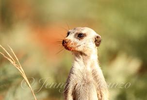 lone-meerkat-bokeh_©JenniferVitanzo.jpg