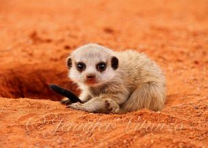 baby_meerkat_curled-in-ballJenniferVita