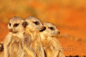 three-meerkat-pups-leaning_©JenniferVita