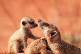 meerkat-family-moment_©JenniferVitanzo.j