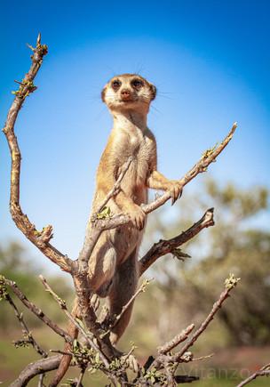 alert meerkat sentry in tree JVitanzo.jpg