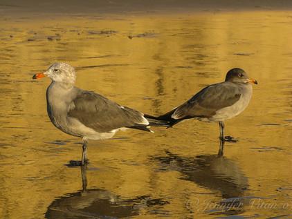 california-seagulls-crystal-cove-beach_©