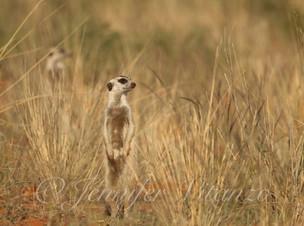 meerkats-in-grass_©JenniferVitanzo.jpg