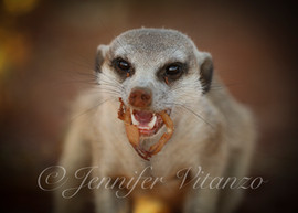 meerkat-eating-scorpion_©JenniferVitanzo
