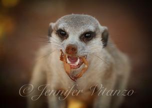 meerkat-eating-scorpion_©JenniferVitanzo
