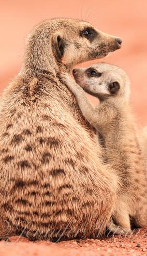 meerkat-pup-standing-up-to-babysitter_©J
