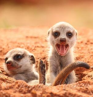 meerkat_pup_yell_©JenniferVitanzo.jpg