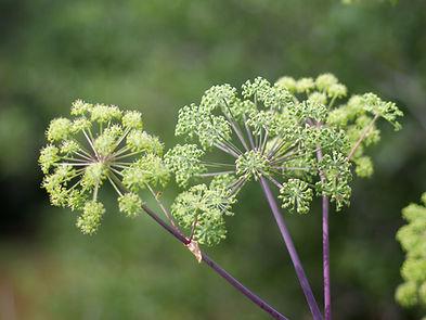 vitamins-supplements-herbs_herbs_dong-qu