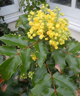 Mahonia-aquifolium.jpg