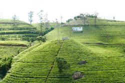 Inverness Tea Estate Sri Lanka
