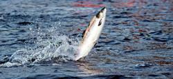 le saumon sauteur