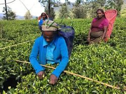 Tea Pickers Sri Lanka