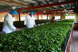 Tea Processing Withering Sri Lanka