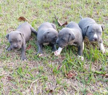 American-Bully-filhotes-disponveis-Canil