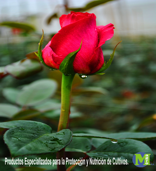 Magro-Rosa1.png