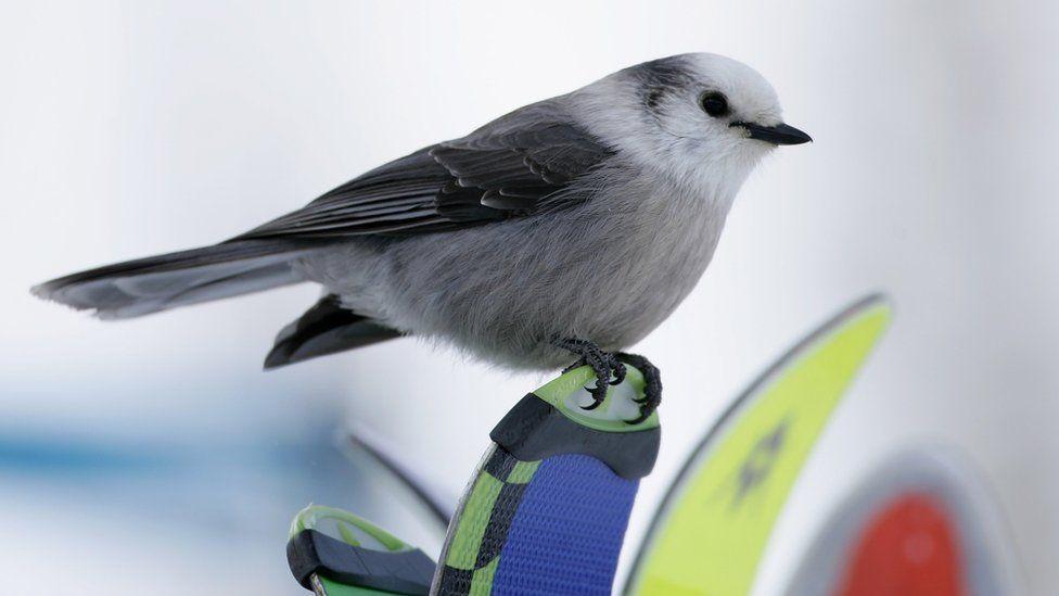 The Gray Jay...National Bird of Canada?