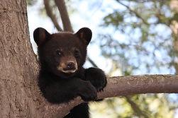 Black bear cub sitting on a branch of a