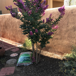 Planting a crepe myrtle in the yard
