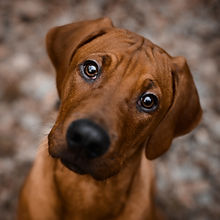 Curious Rhodesian Ridgeback puppy dog lo