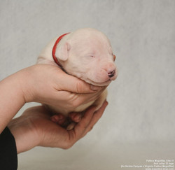 Pakhra Magnifika Litter Y Red collar
