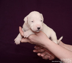 Pakhra Magnifika Litter J Male with patch