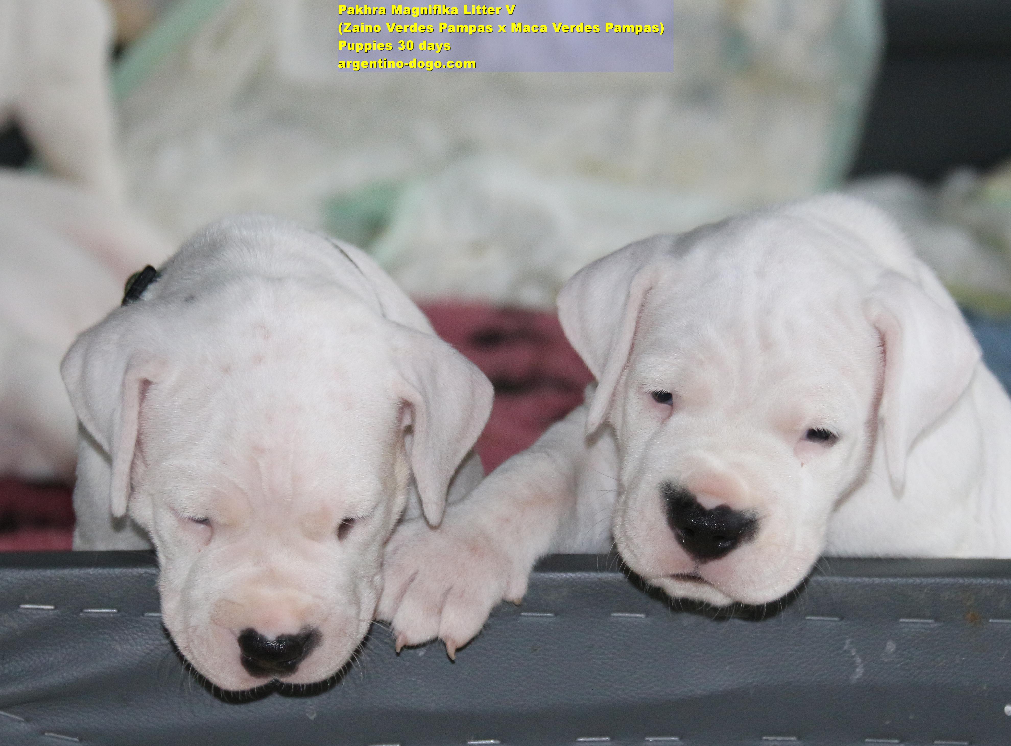 Pakhra Magnifika Puppies Litter V