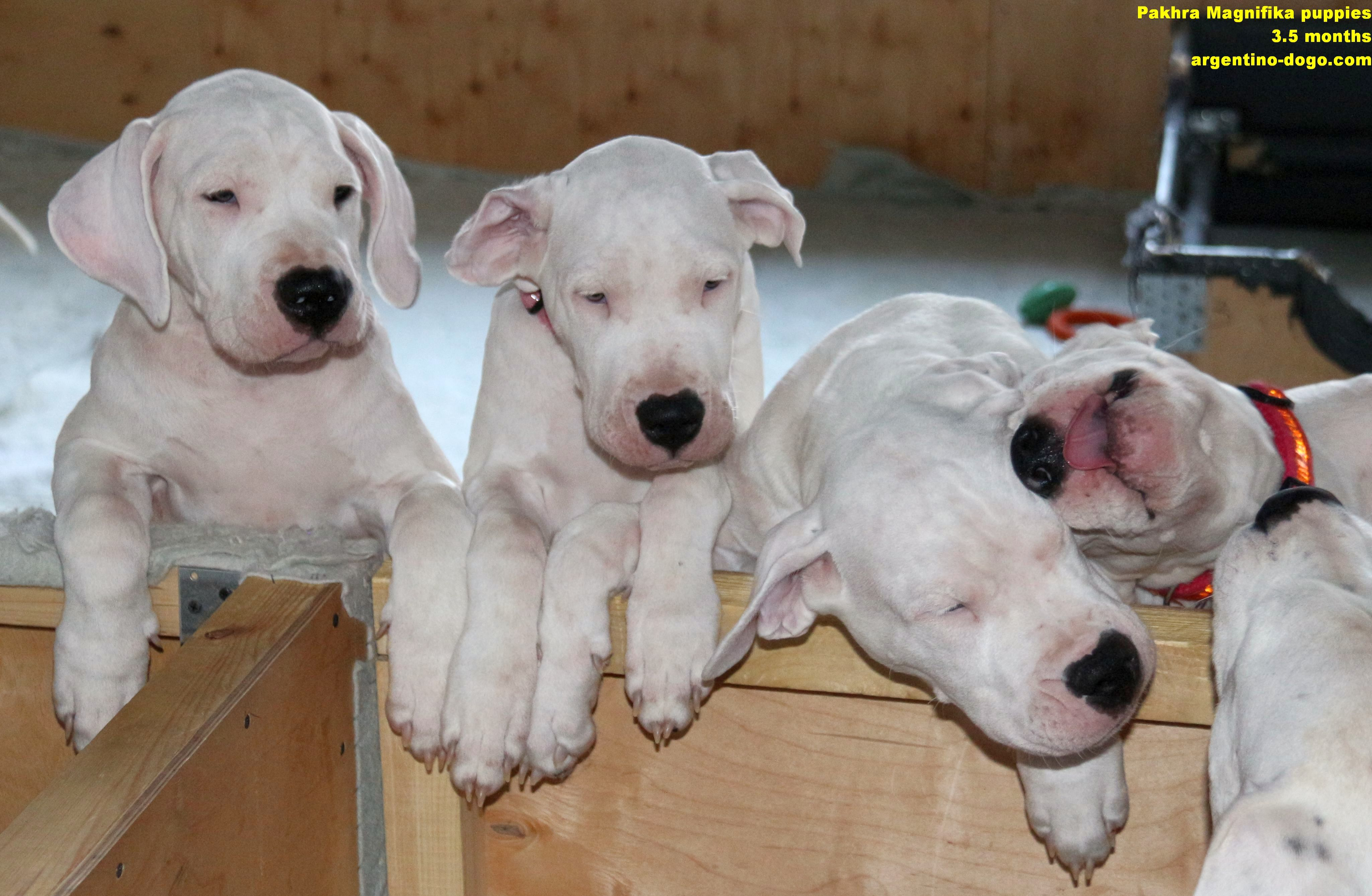 Pakhra Magnifika puppies