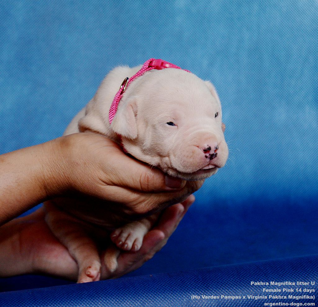 Pakhra Magnifika litter U female 14 days
