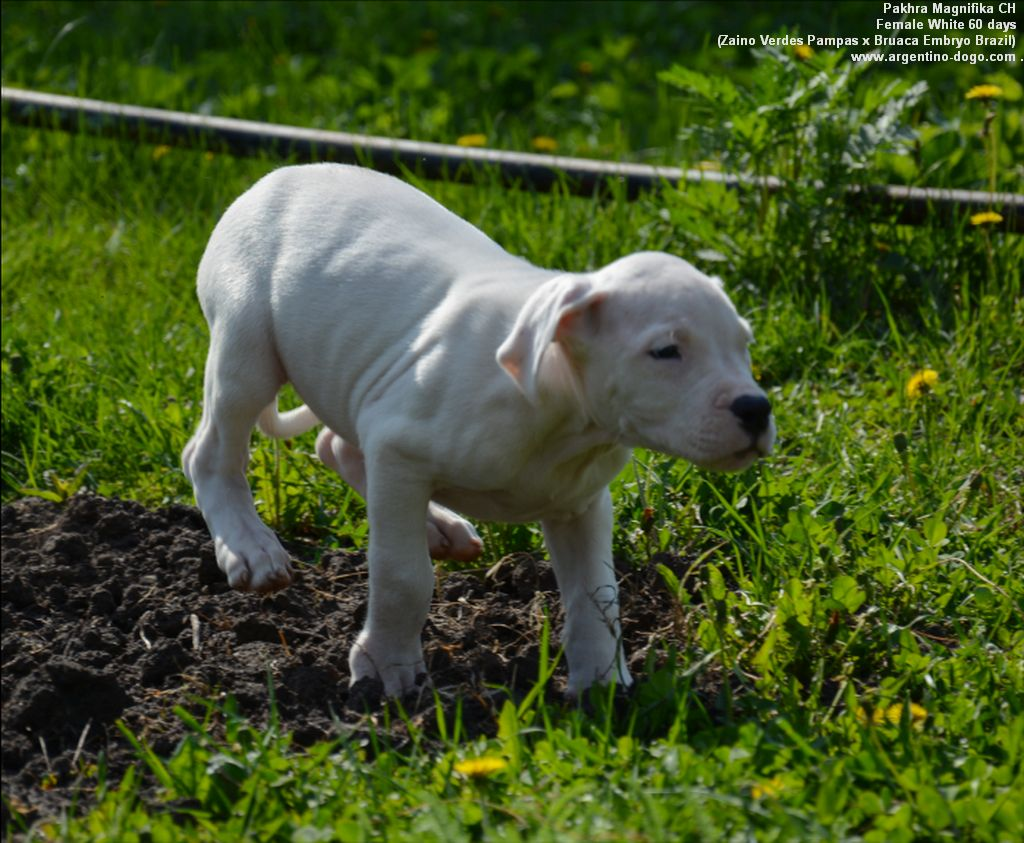 Pakhra Magnifika CH female White collar
