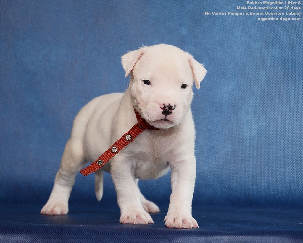 Litter S male Red collar 28 days