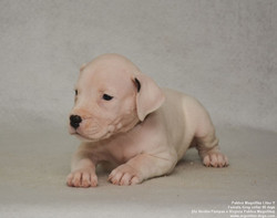 Pakhra Magnifika litter Y female puppies
