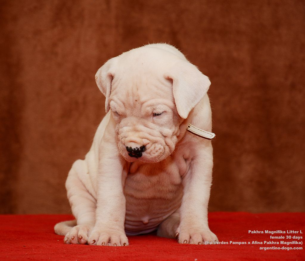 Pakhra Magnifika litter L female 30 days