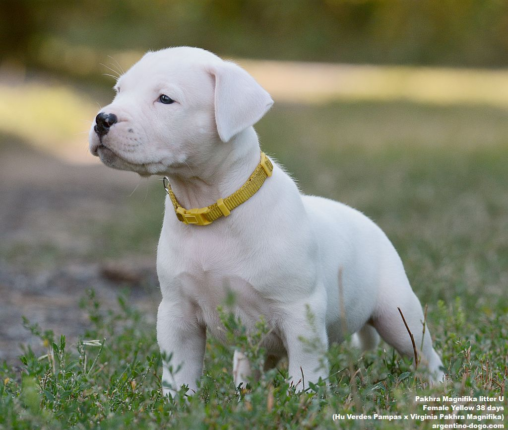 Pakhra Magnifika litter U female 38 days