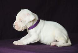 Pakhra Magnifika 2-L male Violet