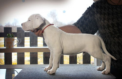 Pakhra Magnifika litter 2-P male Red