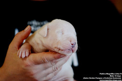 Pakhra Magnifika litter R male 10 days
